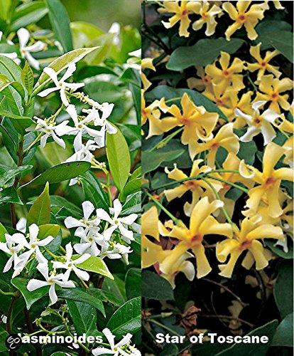 3 x Sternjasmin:: 3 kaufen, nur 2 bezahlen - Gelb (2) und Weiss (1) - 1,5 Liter Topfen - Immergrün, Duftend & Winterhart - Toscan Jasmin | ClematisOnline Kletterpflanzen