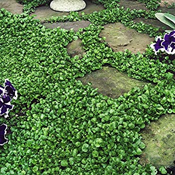 Outsidepride Dichondra Repens Grass Seed - 1 LB