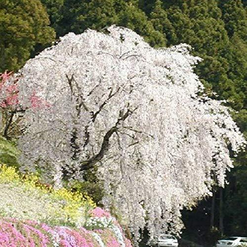 PLAT FIRM GERMINATIONSAMEN: Weiße Brunnen weinende Kirsche Hausgarten Zwerg Baum schöne Samen neue Artikel