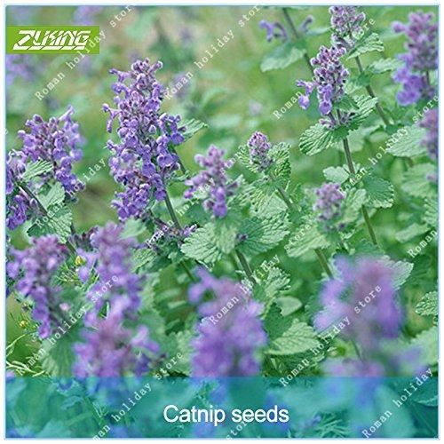 ZLKING Cat Ragrance Mentha arvensis herbes aromatiques végétales cataire Graines Bonsai