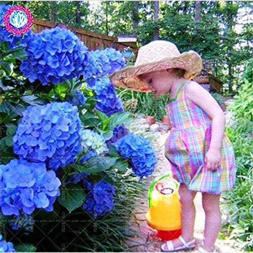10pcs/pack Red Hydrangea mélange de graines Hydrangea Fleurs Accueil Plante des graines de fleurs Bonsai Viburnum pour le jardin de la maison 5