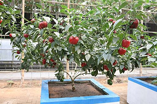 Légume et semences de la fruits 50pcs Graines de légume Arbre de Poivre