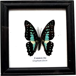 Insectfarm Framed Real Beautiful Common Jay Butterfly Specimen Collection Display Insect Taxidermy