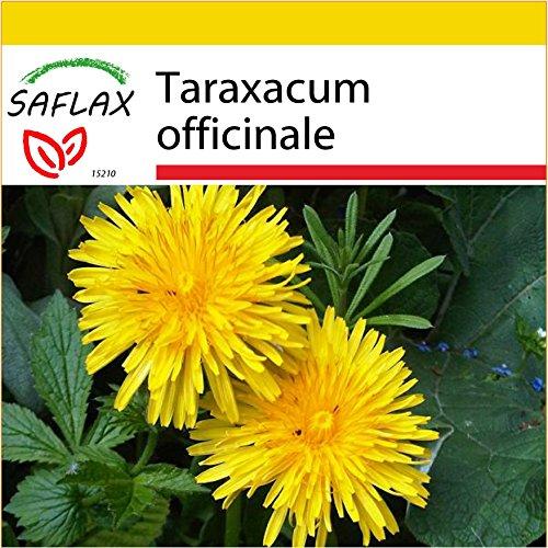 SAFLAX - Kit de culture - Pissenlit - 200 graines - Taraxacum officinale