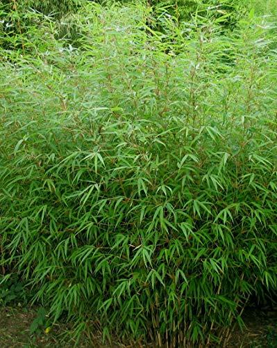 1 x Fargesia Rufa 100-120 cm \'XXL Topf(Bambus) C5 TOP SORTE FÜR HECKE