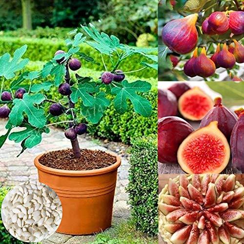 Higueras, semillas de higo 100 piezas fragantes tropicales Plantas de semillero de fruta deliciosa púrpura para jardinería Ideal regalo al aire libre