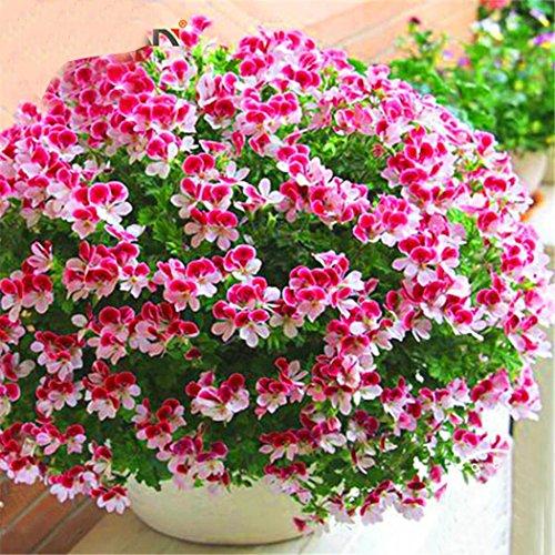 Ncient 20 Pcs/Sac Graines Semences de Fleurs - Géraniums Parfumés 'Pansy' - Géranium Seed Plantes Vivaces Graines à Planter