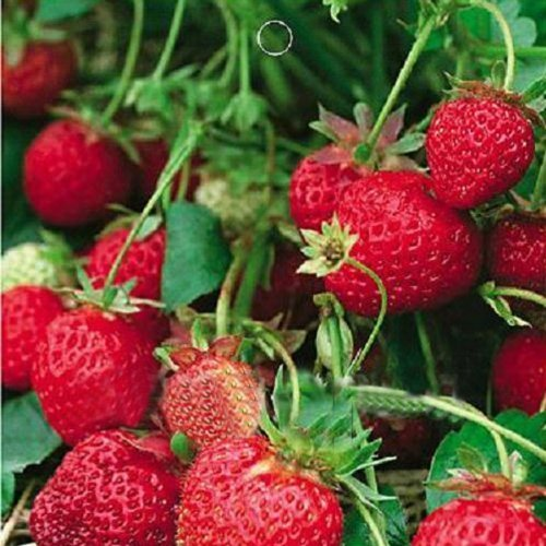 1 Bag 50 Seed Organic Strawberry Fragaria ananassa Delicious Fruits by IRISMARU