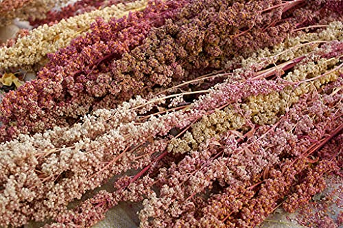 SVI Semillas de plantas de quinoa Chenopodium