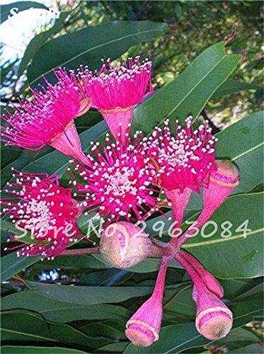 Vente! 100 pcs/sac rares Eucalyptus Graines géant Arbre tropical Graines Angiosperme pour jardin plantation en plein air Bonsai 10 cadeau