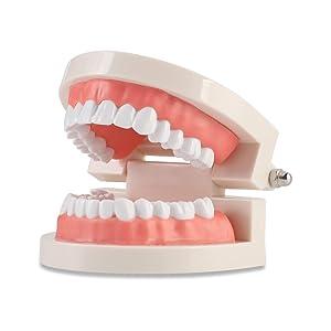 Dental Adult Standard Teeth Model, Typodont Demonstration Denture Model|Mouth Teeth Model Dental Supplies for Kids, Dentist Students, Patient, Teaching, Studying, Displaying, Educating