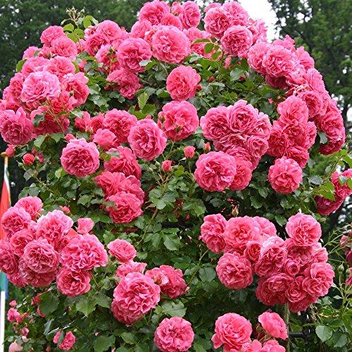 Garten Schlüter -  Kletterrose Rosarium