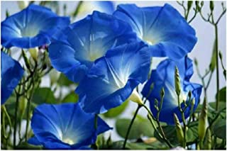 David's Garden Seeds Flower Morning Glory Heavenly Blue SL1018 (Blue) 50 Non-GMO, Heirloom Seeds