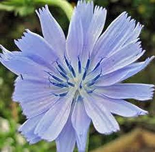 Bluest Blue Chicory 100+ Seeds Organic, Beautiful Blue Cut Flower