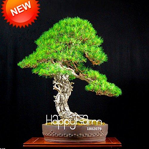 Les meilleures ventes! Japonais Graines d'ornement en pot de pin Graines Osaka Bonsai Pine Tree 100 particules / lot, # 8B9JQ4