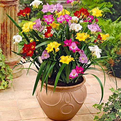 50x Freesia | Mix di bulbi di fiori | Bulbi a fioritura estiva | Fiori da Balcone e Giardino | 4-5 cm