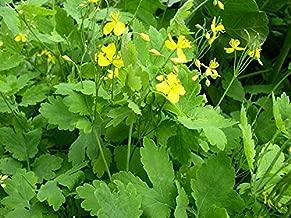 3 Medicinal Plant-Greater Celandine(Chelidonium Majus) 3 Bare Root, Organic