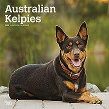 Australian Kelpies 2020 12 x 12 Inch Monthly Square Wall Calendar, Animal Dog Breeds