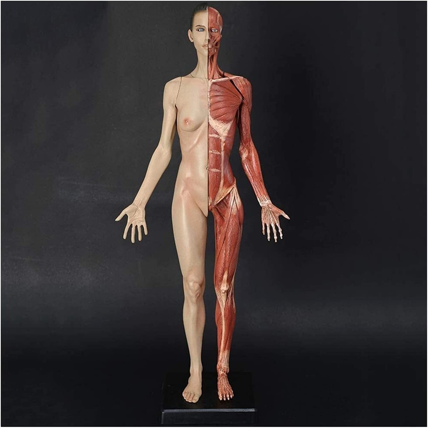 Female Anatomy Figure Human Muscle Craft Cheap Model Anatomical Outlet SALE