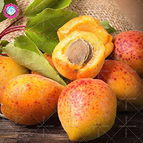 2pcs Apricot Succulent Fruit Trees Seed Small Seed Tender Mouthwatering Varieties Planted For Easy plantiation Garden balcony