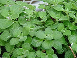 Cuban Oregano Seeds,AKA (Broad Leaf Thyme) Spanish thyme,Mexican Mint,Hung chanh