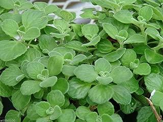 Cuban Oregano Seeds,AKA (Broad Leaf Thyme) Spanish thyme,Mexican Mint,Hung chanh