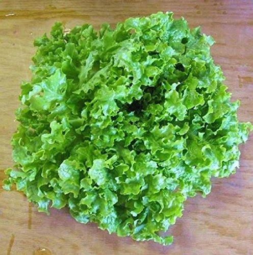 Green Ice Leaf Lettuce Seeds Grow Heirloom Garden Salad or Microgreens C296 (2500 Seeds, or 1/8 oz)