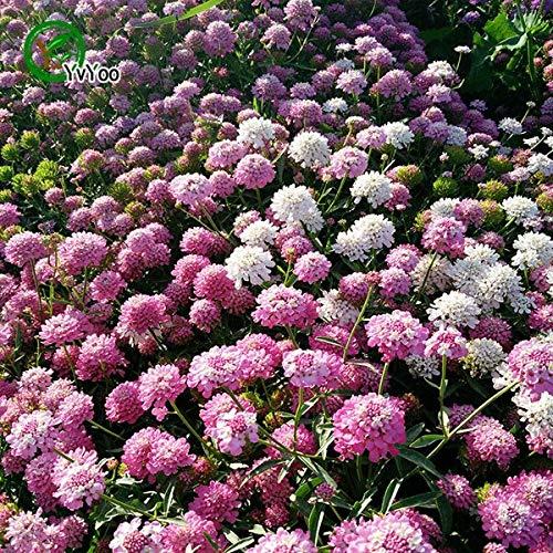 50 Samen/Beutel Iberis Amara Samen Oder Verfügbare Samen Zierblumensamen Pflanze Für Die Gartenarbeit E014