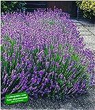 BALDUR Garten Winterharte Stauden Lavendel-Hecke 'Blau', 9 Pflanzen Duftlavendel Lavandula angustifolia Munstead echter Lavendel