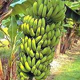 Banana Plants 'Grand Nain' Includes Four (4) Plants