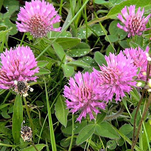Semillas de Trébol Rojo o Trébol Violeta 100 Semillas de Trifolium Pratense