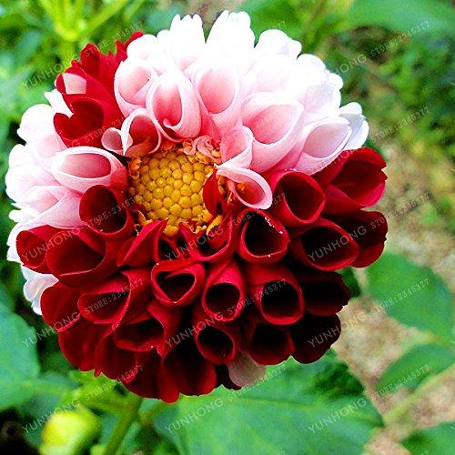 Dahlia Graines de fleurs magnifiques bonsaïs Couleurs mélangées Dahlia Graines de fleurs Balcon Plante en pot pour Bricolage Jardin 50 Pcs / Sac