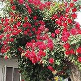 100Pcs/bag Climbing Rose Flower Seeds Beautiful in Home Garden