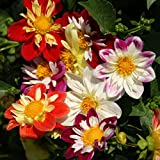 Outsidepride Dahlia Dandy Flower Seed Plant Mix - 500 Seeds