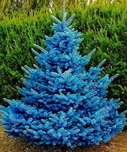 50 graines Arbre à feuilles persistantes Rare épinette bleue du Colorado Graines PICEA PUNGENS GLAUCA de bonnes pour la culture en pot planteurs de pot de fleur rouge