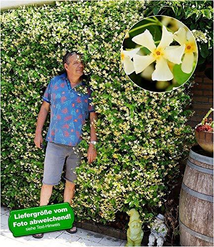 "BALDUR-Garten Winterharter Jasmin""Star of Toscane®"" duftend, 1 Pflanze Trachelospermum jasminoides"