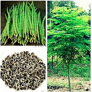 25 Moringa Seeds of The Tree of Life - The Moringa Tree - Organic Superfood, Easy to Grow, Fast Growing Tree with Edible Leaves, Stems, Seeds - Marde Ross & Company