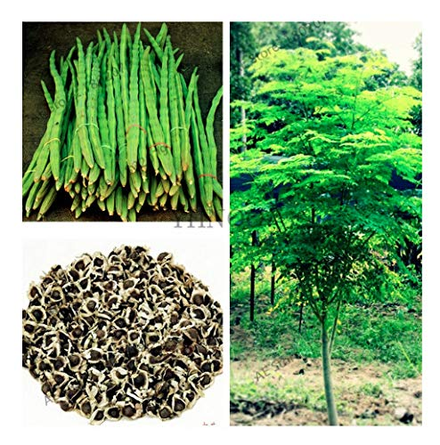 25 Seeds of The Tree of Life - The Moringa Tree - Superfood, Easy to Grow, Fast Growing Tree with Edible Leaves, Stems, Seeds - Marde Ross & Company…
