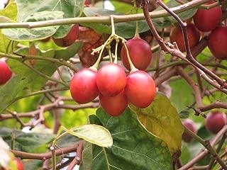 20 Seeds of Cyphomandra betacea, Tree Tomato, Tamarillo