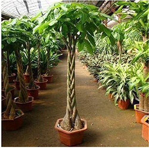 graines Pachira macrocarpa, 100% vraie semence bonsaï - 1 pcs / paquet
