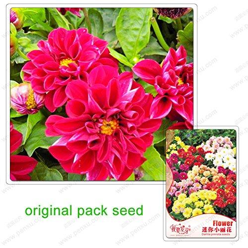 35 graines/Paquet, dahlia graines de pinnata, mini-dahlia, balcon graines en pot de fleurs de dahlia