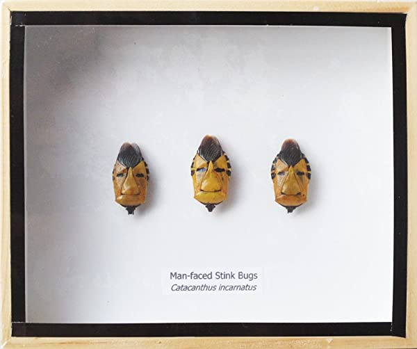 VERY RARE SET 3 REAL MAN FACED STINK BUG INSECT TAXIDERMY IN WOODEN BOX