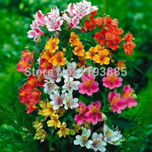 100 / bolsa Semillas Perú Lily ~ del lirio peruano Mix (Alstroemeria) Semillas de flores perennes