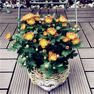 Grosses soldes! 50 Pcs Daisy Graines de fleurs crème glacée parfum de fleurs en pot Chrysanthemum jardin Décoration Bonsai Graines de fleurs 2