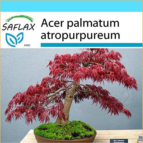 SAFLAX - Geschenk Set - Bonsai - Roter Fächerahorn - 20 Samen - Mit Geschenk- / Versandbox, Versandaufkleber, Geschenkkarte und Anzuchtsubstrat - Acer palmatum