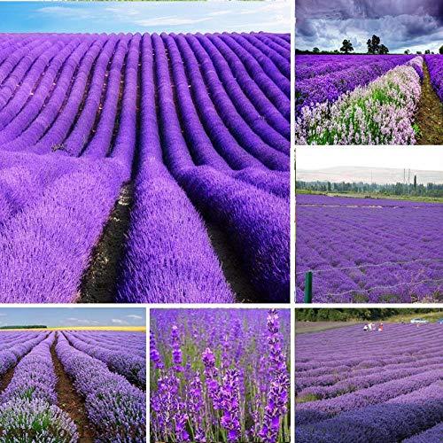 Aerlan winterhart Blumensamen,Blumensamen Provence Lavendel Vanille Samen Blumen Blumen Sea-500g_Plume,Steingarten & Staudenbeet