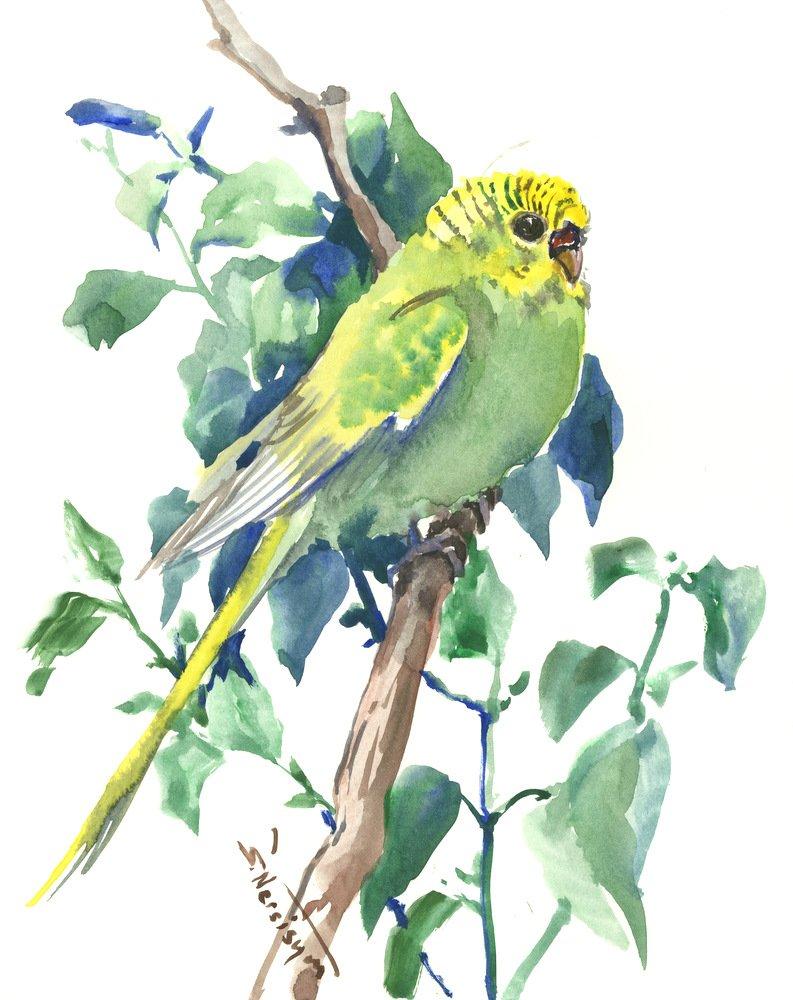 Budgie Parkattet artwork Bird Rapid Superlatite rise