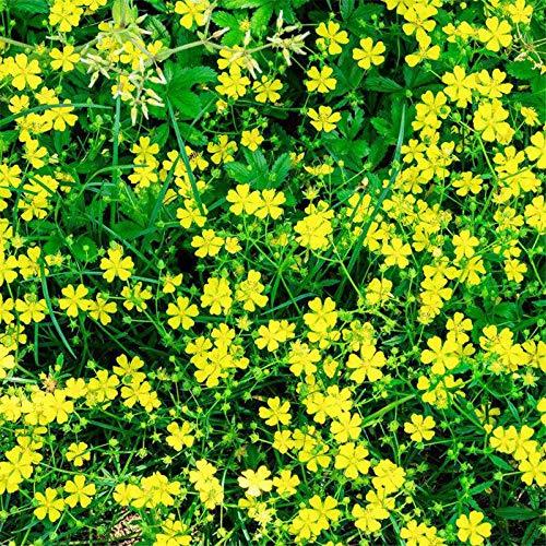 Aerlan Rare graines de Multicolor,vivaces graines Fleurs ornementales,Potentilla Seed Balcony Courtyard Potted Indoor Four Seasons Easy Planting Flowers-500g