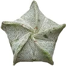Bishop's Cap Cactus Astrophytum Myriostigma (4 inch Pot)