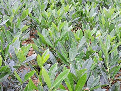 1 Stück Kirschlorbeer 'Otto Luyken' (Prunus lauroc. 'Otto Luyken') im Topf 30-40cm